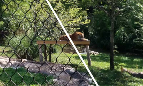 A fence is removed from a picture of a tiger.